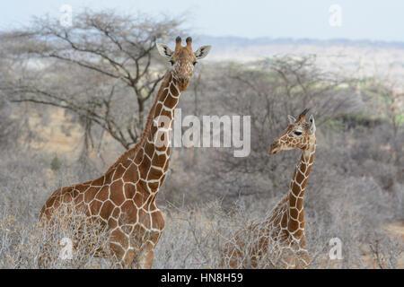 Two Wild Reticulated Giraffes, Giraffa camelopardalis reticulata, Buffalo Springs Game Reserve, Samburu, Kenya, - Stock Image