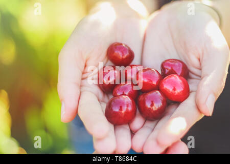 Cherry berries harvest in the palms of a girl - Stock Image