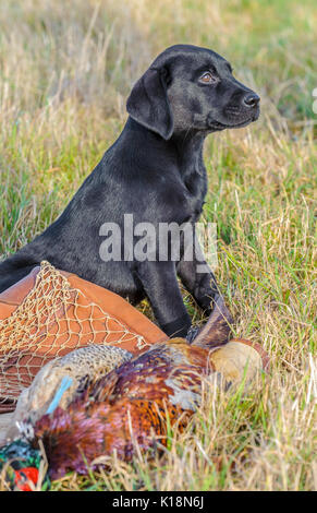Young, ten week old, Black Labrador  puppy who has found his first pheasant on a game bag - Stock Image