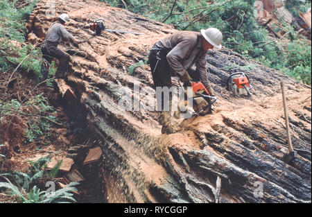 Fallers bucking Redwood log, using chainsaw, Redwood logging operation, 'Sequoia simpervirens'. - Stock Image