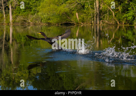 A Double-crested Cormorant splashes as it runs on the surface of the water to take off in flight. (Michigan) - Stock Image