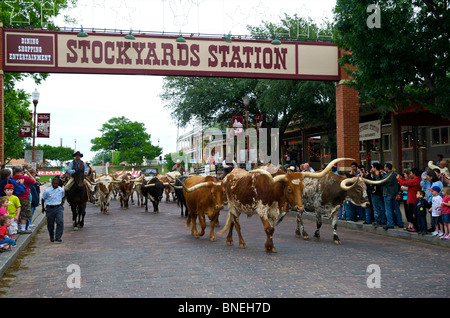 Cowboys herding Longhorns from Stockyards to Streets of Fort Worth In North Texas - Stock Image
