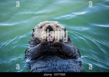 Cute Sea Otter, Enhydra lutris, lying back in the water and appearing to smile or laugh, Seldovia Harbor, Alaska, - Stock Image