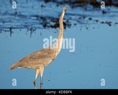 Great Blue Heron Stretching - Stock Image