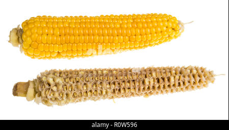 Whole and empty corn cobs. Maize. Zea mays. Two boiled corncobs. Delicious yellow-golden sweetcorn grains. Gnawed cob. Organic food with dietary fiber. - Stock Image