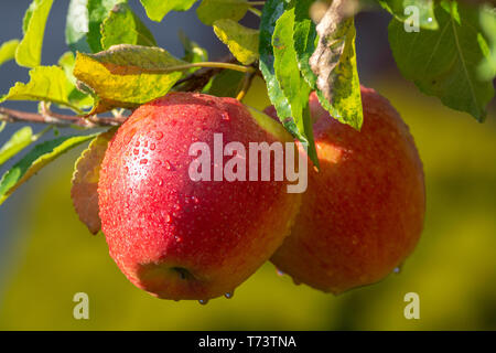 Harvesting apples in garden, autumn harvest season in fruit orchards, close up - Stock Image