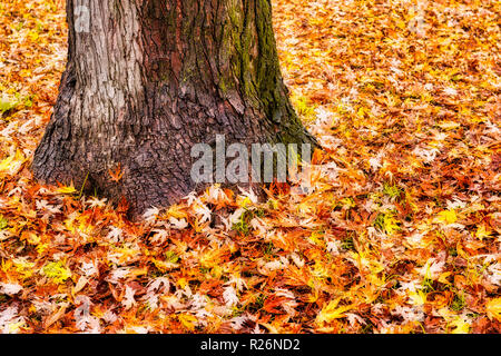 solitary tree with a sea of leaves around it in autumn season - Stock Image