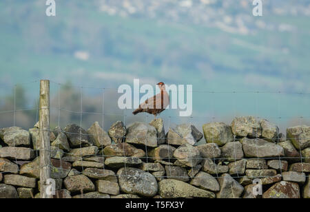 Red Grouse (Lagopus lagopus) Stood on drystone walling in Springtime.  Bright red eye combs to attract a female.  Natural habitat. Blurred background. - Stock Image