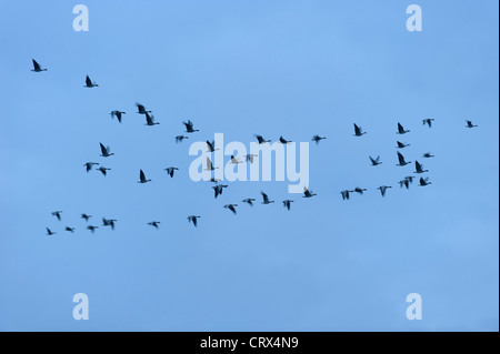 Flock of pink-footed geese (Anser brachyrhynchus) in flight in cold dawn light. Norfolk. November. - Stock Image