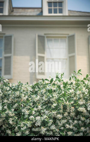 A fragrant flowering jasmine hedge in front of out-of-focus house in the Garden District of New Orleans, Louisiana, - Stock Image