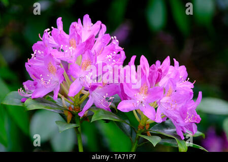 pink flowering rhododendron flowers - Stock Image