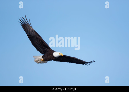 Adult Bald Eagle (Haliaeetus leucocephalus) in flight over Minnesota, USA. - Stock Image