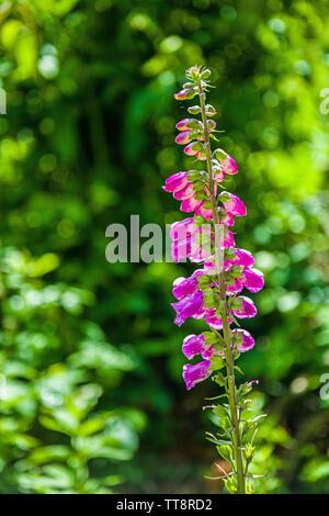 Backlit Foxglove Flowers Digitalis purpurea - Stock Image