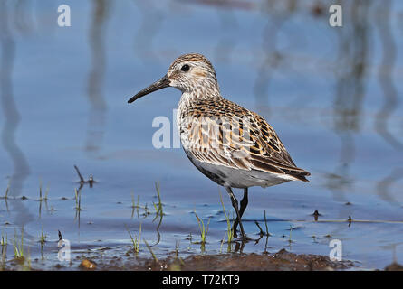 Dunlin (Calidris alpina) adult walking in shallow water  Eccles-on-Sea, Norfolk                 May - Stock Image