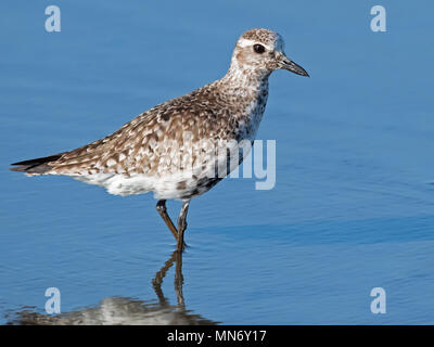 Black-bellied Plover - Stock Image