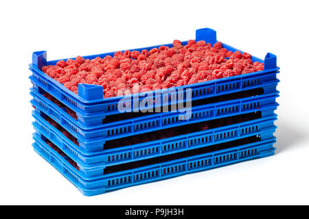 Fresh ripe red raspberries in several plastic crates on a wholesale market isolated on white. - Stock Image