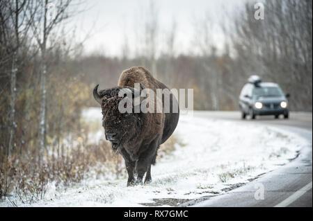 Bison bison - Bison, Elk Island National Park, Alberta, Canada - Stock Image