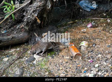 Brown Rat, (Rattus norvegicus), scavenging food amongst rubbish, River Brent , near Welsh Harp Reservoir, Brent, London, United Kingdom - Stock Image