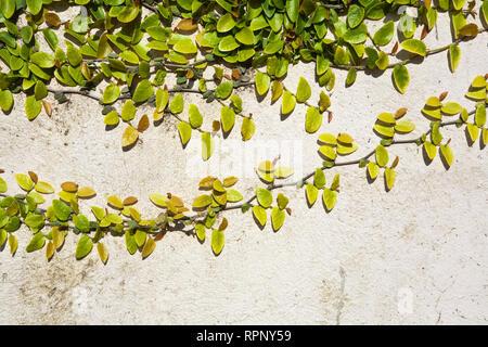 Climbing Vine on Wall - Stock Image
