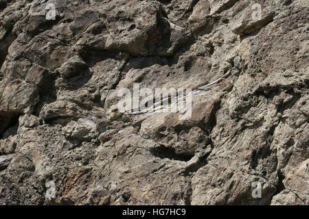 Dinosaur Bone fossil in sandstone rock Dinosaur National Monument Utah - Stock Image