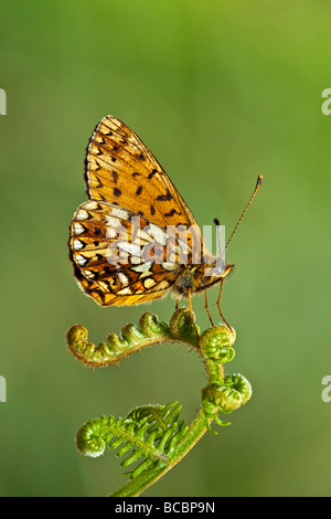 SMALL PEARL BORDERED FRITILLARY (Boloria selene) at rest on bracken frond - Stock Image