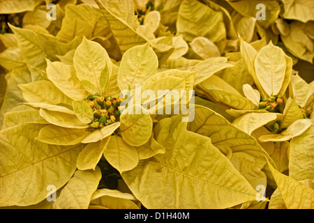A stock photograph of some yellow poinsettia plants. - Stock Image