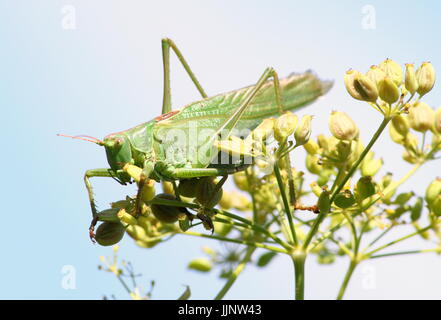 Male European Great Green Bush Cricket (Tettigonia viridissima) in closeup. - Stock Image