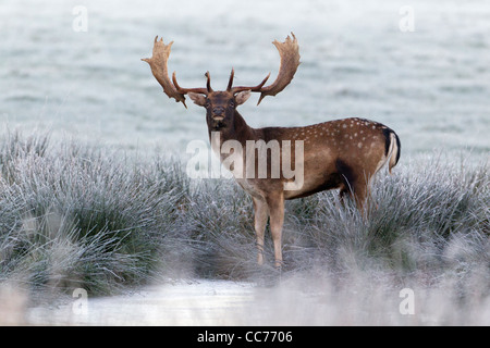 Fallow Deer (Dama dama), Buck Alert after drinking, Royal Deer Park, Klampenborg, Copenhagen, Sjaelland, Denmark - Stock Image
