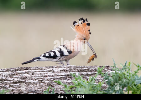Eurasian Hoopoe (Upupa epops) on a log with a cricket in its beak, Hungary - Stock Image