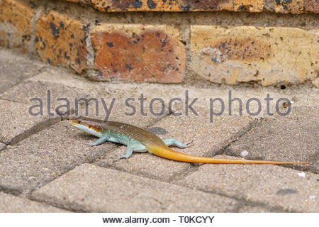 southern tree agama - Stock Image