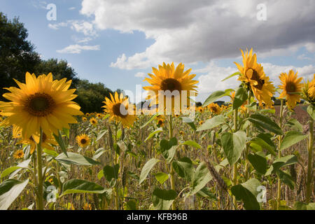 Field  of sunflowers (Helianthus Annuus) growing in Barrrow in Humber, Lincolnshire, England - Stock Image