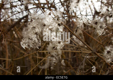 clematis in evening light - Stock Image