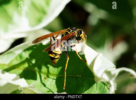 Yellow Jacket Wasp foraging - Stock Image