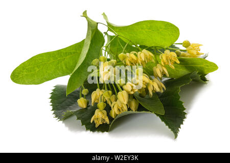 linden  leaf with flowers isolated on white background - Stock Image