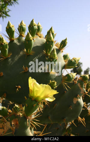 Cacti and other succulent plants, Egypt - Stock Image