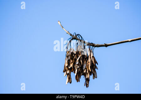Last seasons winged seeds known as keys from an Ash tree Fraxinus excelsior against a clear blue spring sky - Stock Image