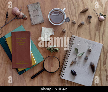 Identifying oak acorns,  the wooden desk of a botanist working while having a sandwich and tea , top view - Stock Image
