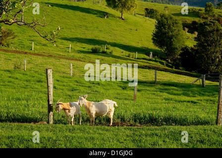 Goats in paddock Queensland Australia - Stock Image