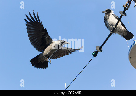 Hooded Crow (Corvus corone cornix), one Landing and the other Perched on Boat Rigging, Sjaelland, Gillelje Harbour, - Stock Image