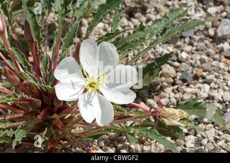 Tufted Evening Primrose (Oenothera caespitosa), flowering plant. - Stock Image