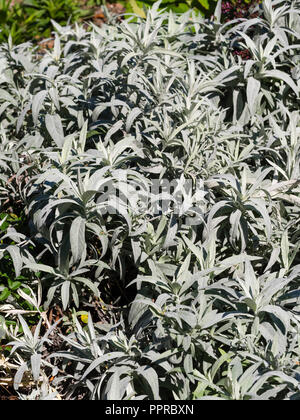 Silvery foliage of the ground covering hardy perennial, Artemisia ludoviciana 'Valerie Finnis' - Stock Image