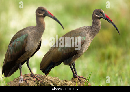 Two Hadeda Ibis (Bostrychia hagedash), Ake Nakuru National Park, Kenya, Africa - Stock Image