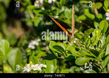 Julia butterfly (Dryas iulia) feeds the nectar of a common jasmine orange (Murraya paniculata) flower, blooming in the garden, Asuncion, Paraguay - Stock Image