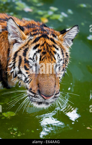Young Tigers (about 11 months old) playing in water, Indochinese tiger or Corbett's tiger (Panthera tigris corbetti), - Stock Image