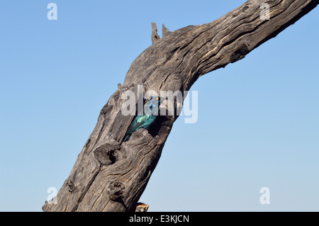 Cape glossy starling (Lamprotornis nitens : Sturnidae) emerging from nest hole in dead tree trunk, Namibia - Stock Image