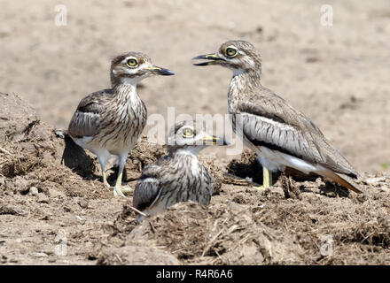 Three water thick-knees (Burhinus vermiculatus) or water dikkops on the banks of the Kazinga Channel between Lake George and Lake Edward. Queen Elizab - Stock Image