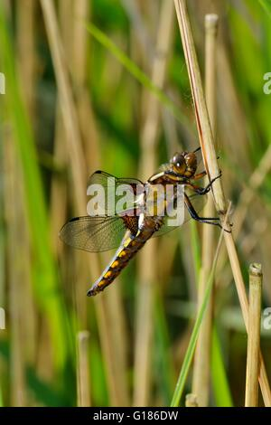 Broad-bodied Chaser Libellula depressa dragonfly insect british uk fauna nature leighton moss rspb nature reserve - Stock Image