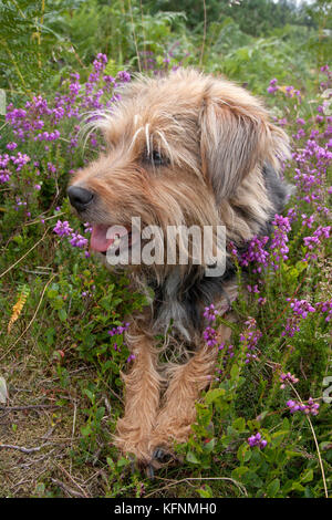 happy terrier sitting among heather, Devils Punchbowl, Hindhead, Surrey - Stock Image