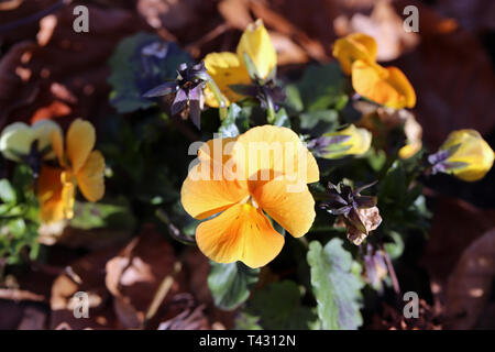 Plenty of pretty light orange pansy flowers blooming. Photographed in Nyon, Switzerland during a beautiful sunny spring day. Lovely, detailed photo! - Stock Image