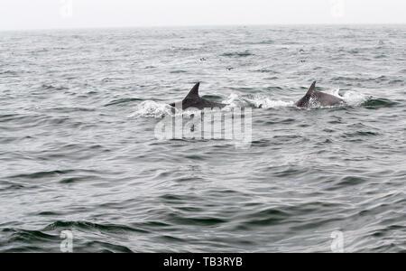 Bottle Nose Dolphins, Tursiops truncatus off the Farne Islands, Northumberland, UK. - Stock Image